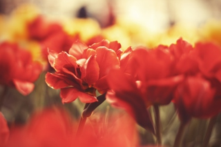 Red Flowers Macro Background for Android, iPhone and iPad