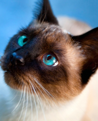 Siamese Cat With Blue Eyes sfondi gratuiti per iPhone 6 Plus