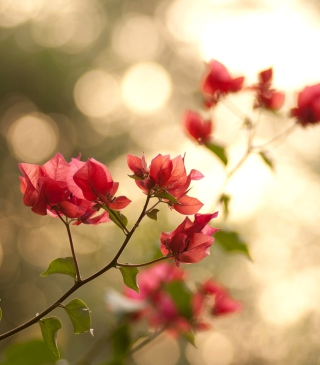 Branches With Red Petals - Fondos de pantalla gratis para iPhone 3G