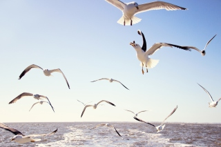 Seagulls Over Sea Picture for Android, iPhone and iPad
