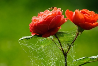 Red Rose And Spider Web sfondi gratuiti per cellulari Android, iPhone, iPad e desktop