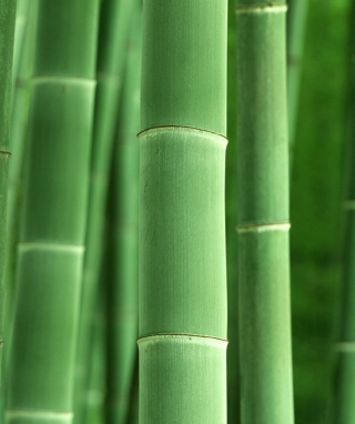 Free Green Bamboo Picture for Nokia Asha 306