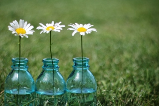 Daisies In Blue Glass Bottles Wallpaper for Android, iPhone and iPad