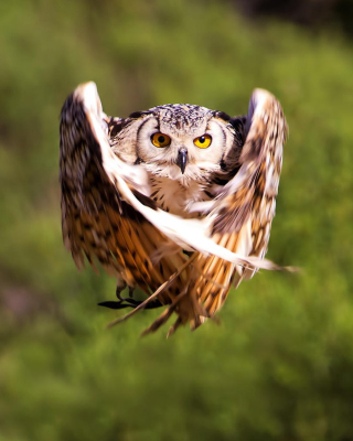 Owl Bird Wallpaper for Nokia Asha 306