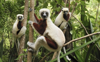 Lemurs On Trees sfondi gratuiti per cellulari Android, iPhone, iPad e desktop