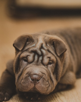 Shar Pei Dog Wallpaper for Nokia C1-01