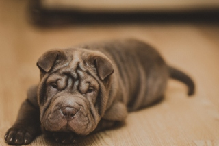 Shar Pei Dog Background for Android, iPhone and iPad