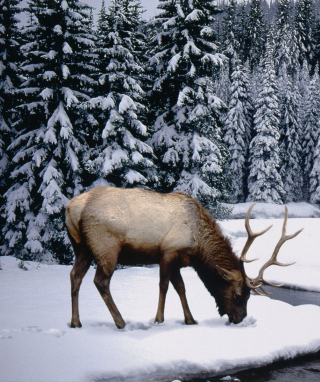 Winter Stag Background for Nokia Asha 311
