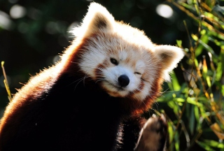 Red Panda Picture for 960x800