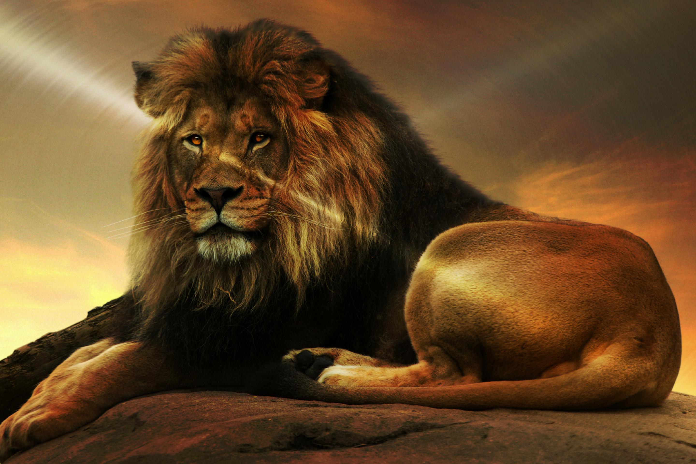 картинки с изображением льва на компьютер