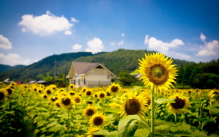 Sunflower Field Picture for Android, iPhone and iPad