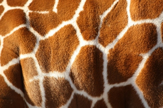 Giraffe Picture for Android, iPhone and iPad