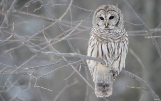 Grey Owl Background for Android, iPhone and iPad