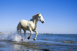Free White Horse Picture for Samsung Galaxy Tab 3 10.1