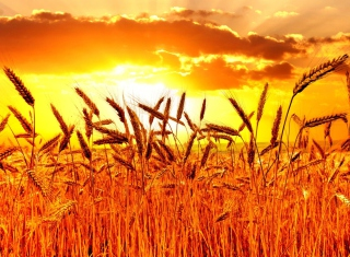Free Golden Corn Field Picture for Android, iPhone and iPad