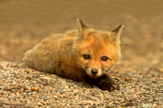 Free Little Fox Picture for Android, iPhone and iPad