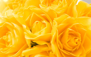 Free Yellow Roses Picture for Nokia Asha 205