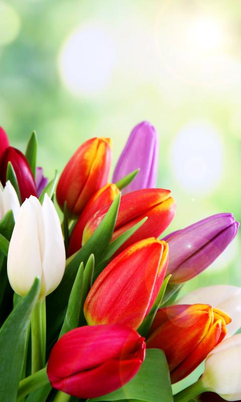 Тюльпаны картинки на телефон