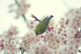 Little Green Bird And Pink Tree Blossom sfondi gratuiti per cellulari Android, iPhone, iPad e desktop