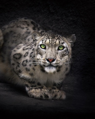 Snow Leopard Wallpaper for HTC Titan