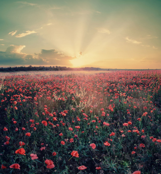 Poppy Field Under Sun sfondi gratuiti per 1024x1024