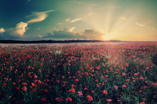 Free Poppy Field Under Sun Picture for Android, iPhone and iPad