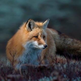 Fox in October Wallpaper for Nokia 6100