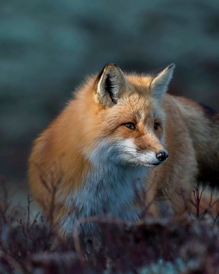 Fox in October Background for Nokia 3110 classic