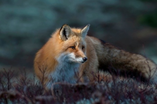 Fox in October Background for 1024x768