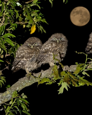 Owl under big Moon sfondi gratuiti per 132x176