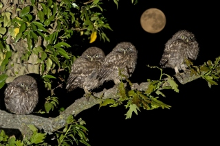 Owl under big Moon Picture for Android, iPhone and iPad