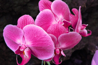 Pink orchid Wallpaper for Android, iPhone and iPad
