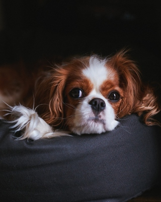 Free Cavalier King Charles Spaniel Picture for iPhone 6 Plus