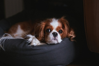 Cavalier King Charles Spaniel Background for Android, iPhone and iPad