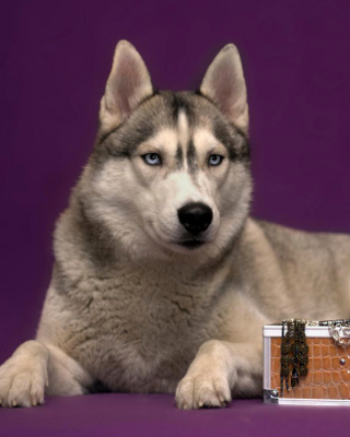 Siberian Husky Background for Nokia C1-01