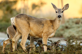 Free Wildlife Deer Picture for Android, iPhone and iPad