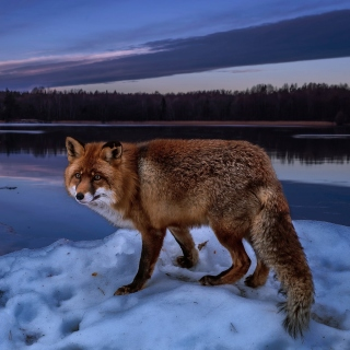 Fox In Snowy Forest sfondi gratuiti per iPad Air