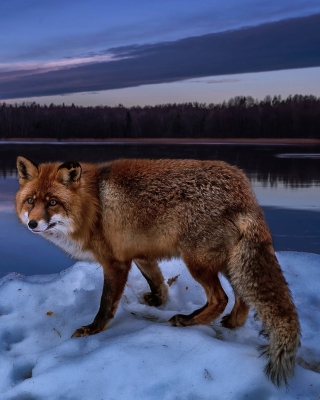Fox In Snowy Forest Wallpaper for 240x320