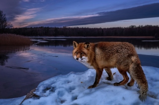 Fox In Snowy Forest Background for Android, iPhone and iPad