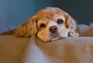 Sad Spaniel Puppy Background for Android, iPhone and iPad