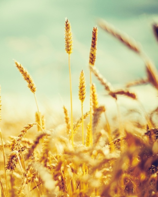 Golden Wheat Field Background for HTC Titan