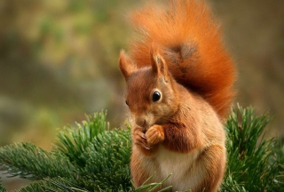 Squirrel Eating Nut Wallpaper for Android, iPhone and iPad