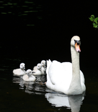 Swan Family Wallpaper for HTC Titan