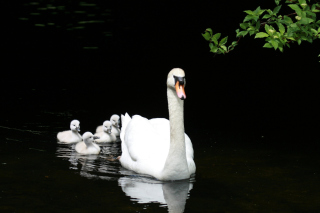 Swan Family Wallpaper for Android, iPhone and iPad