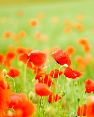 Free Poppy Field Picture for 240x320
