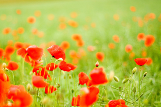 Poppy Field Wallpaper for Samsung Galaxy Ace 3