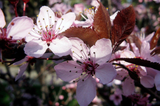 Pink Spring Tree Background for Nokia C3