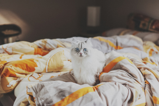 Free White Cat With Blue Eyes In Bed Picture for Android, iPhone and iPad