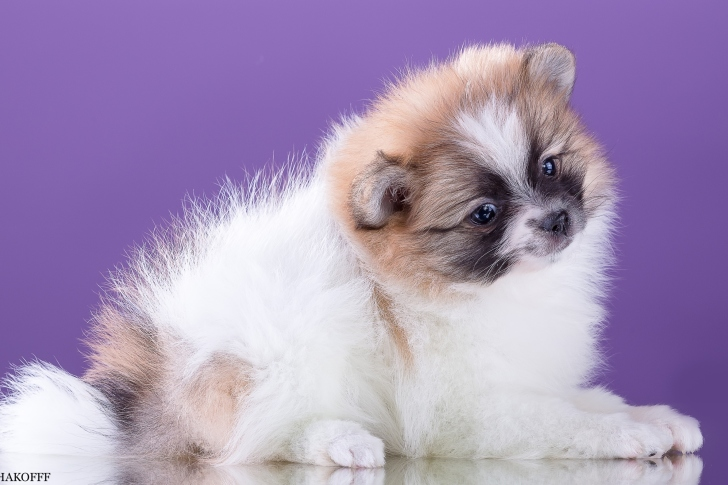 Spitz puppy wallpaper