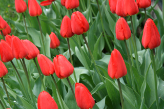 Red Tulips Background for 1600x1200